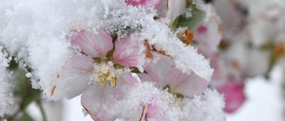 Apfelblüten im Schnee. Foto: Felix Kästle/Archiv