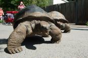 Zwei Riesenschildkröten laufen im Zoo Dresden in eine Außenanlage. Foto: Sebastian Kahnert