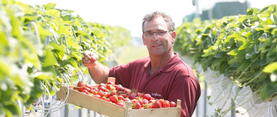 Die Erdbeerernte hat begonnen, hier auf den Feldern von Lars Folde (55), Chef von Gut Pesterwitz, auf dem Foto der Chef auf einem Feld bei Pesterwitz (Stellagen in geschütztem Anbau), die Erdbeeren gedeihen im geschütztem Zelt und können bequem in Brusthöhe geerntet werden. Foto: Steffen Füssel
