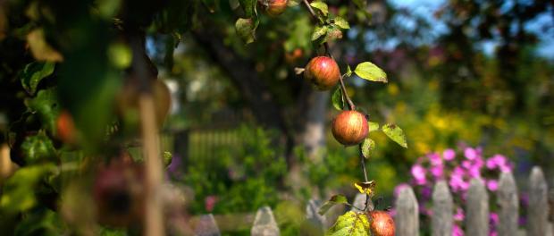 Bio-Äpfel sind in einem Garten hinter einem hölzernen Zaun zu sehen. Foto: Arno Burgi/Archiv