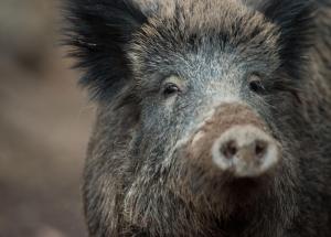 Ein Wildschwein.Foto: Lino Mirgeler/Archiv