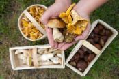 Hände halten verschiedene Pilzsorten. Foto: Peter Endig/Archiv