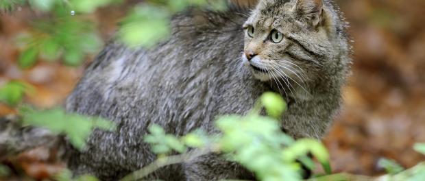 Eine zwei Monate alte Wildkatze. Foto: Caroline Seidel/Archiv